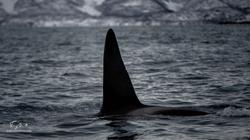 Orca-9026