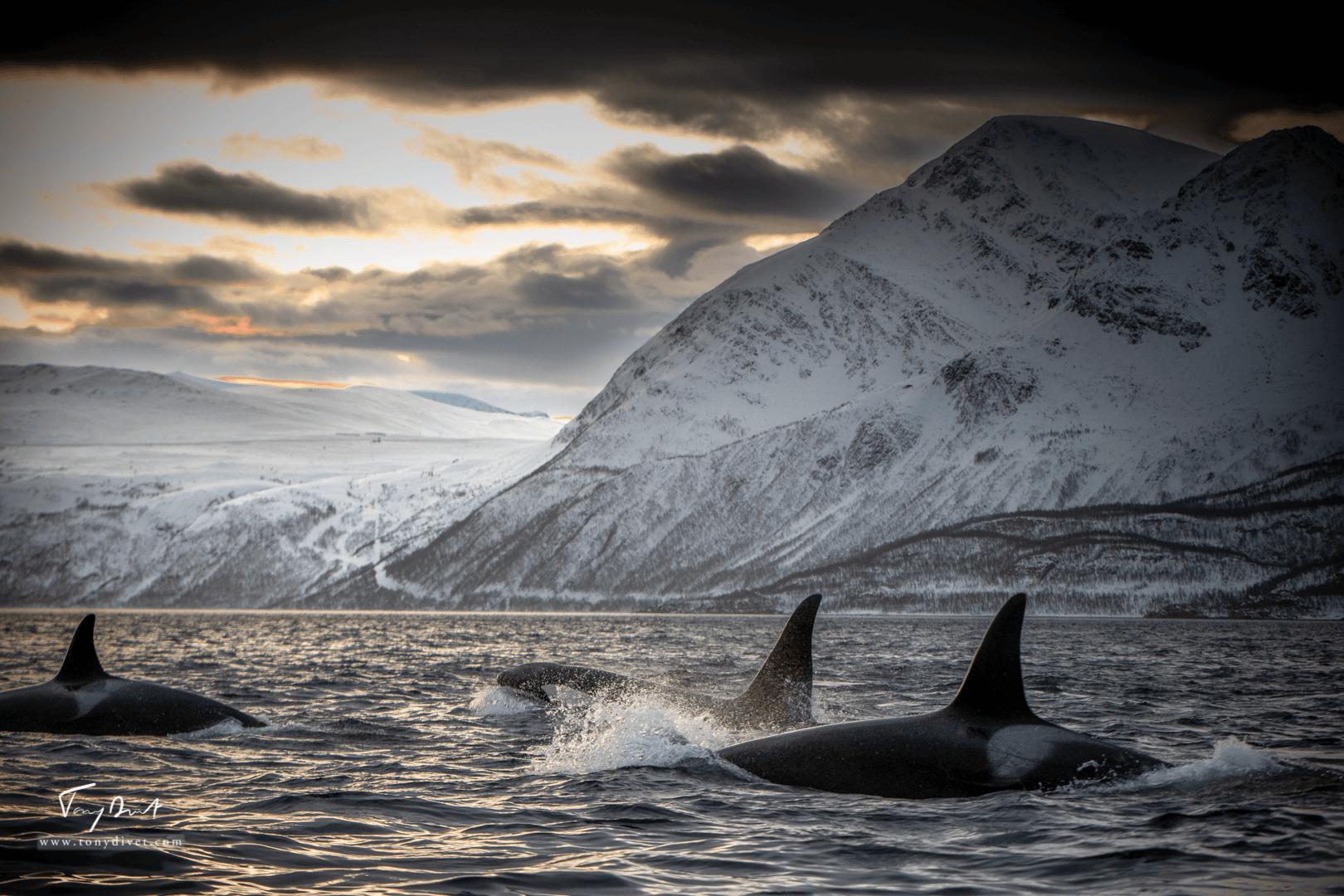 Orca-1471