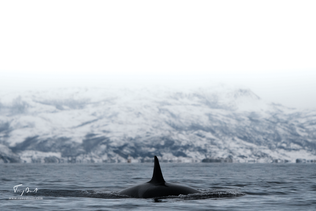 Orca-9213.png
