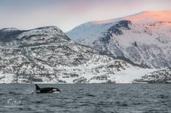 Orca-1426