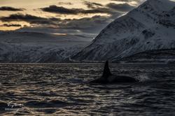 Orca-1460