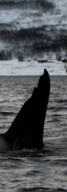 Orca-0828.png