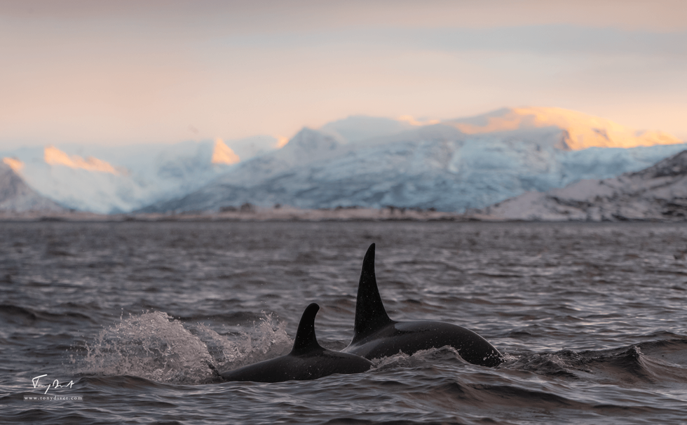 Orca-1237.png