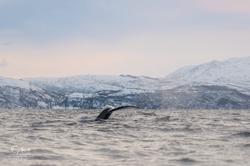 Orca-8520