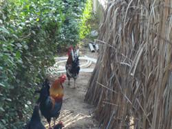 Chickens @ DEC