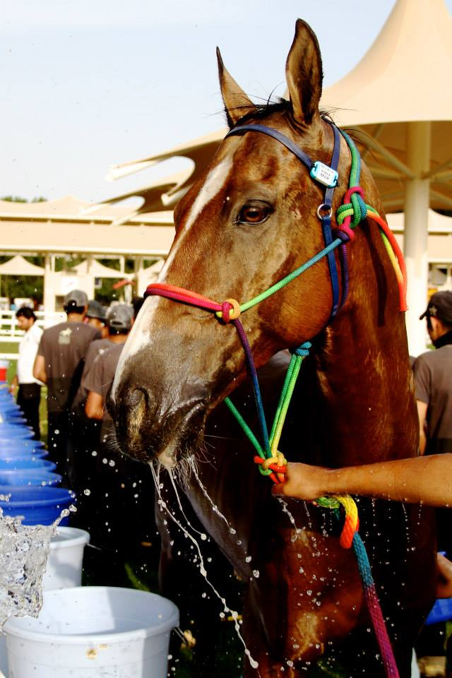Goldie cooling down at the Al Hosn Cup