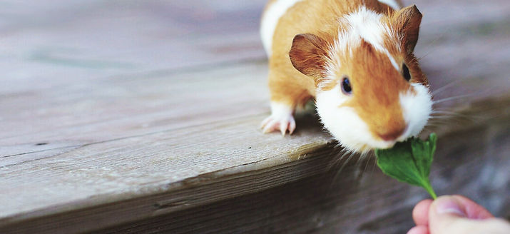 Guninea Pig eatting natural forage treat