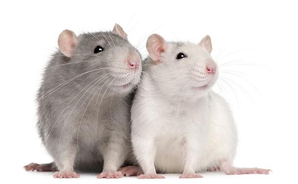 foto-rats.jpg