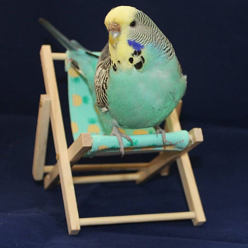 Budgie standing on toy size deck chair