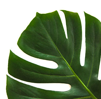 close-up-photo-of-swiss-cheese-leaf-9124
