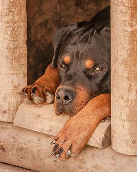 rottweiler-1771878_1920.jpg