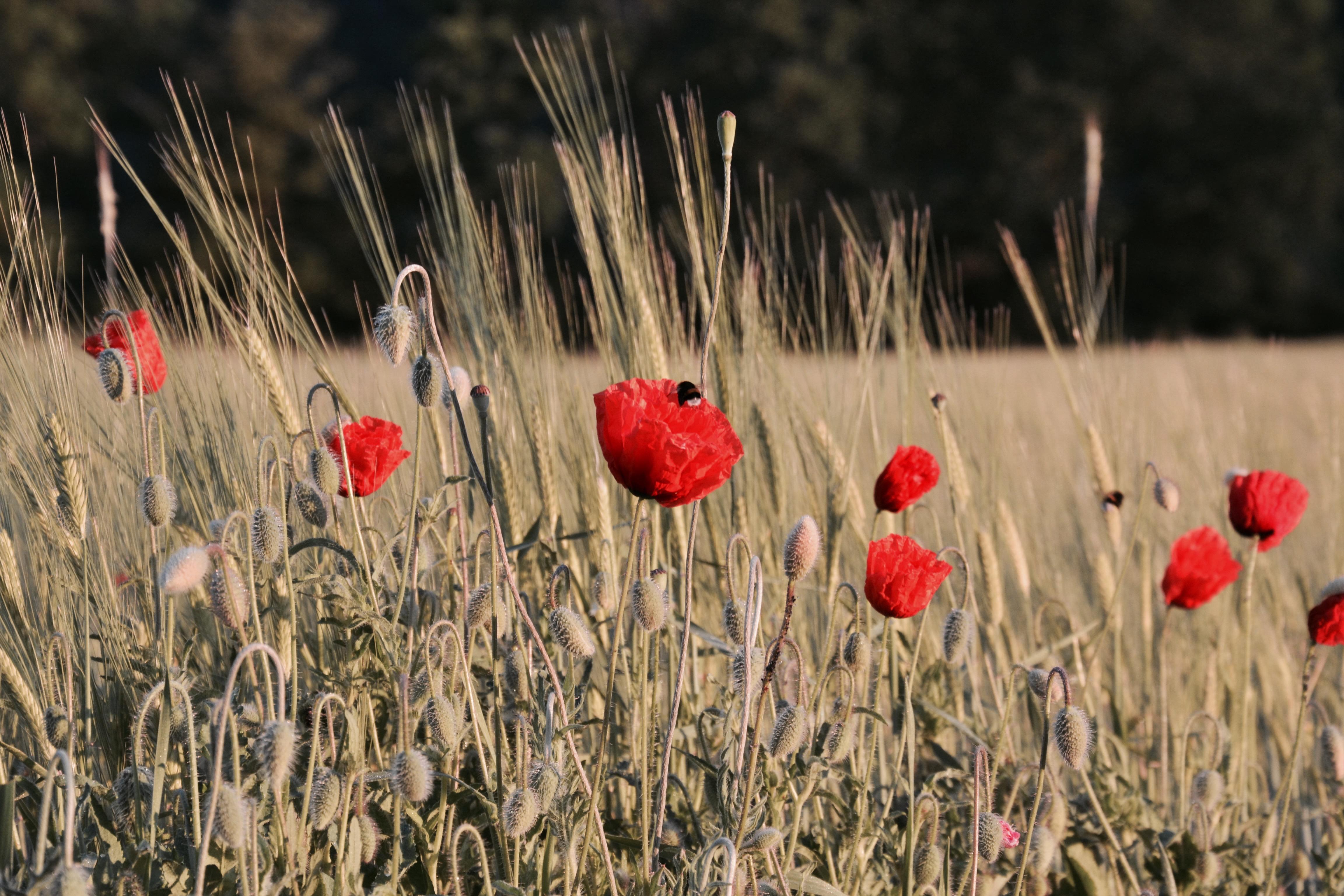 Mohnblumen beim Kornfeld