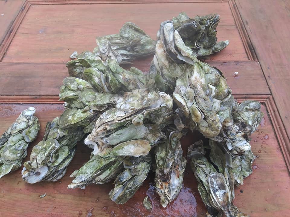 Half Bushel of Cluster Oysters   CHSS