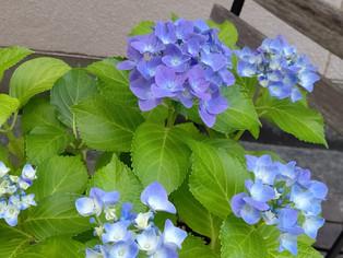 紫陽花が咲きました