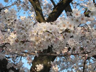 桜、満開?