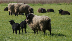 Nos moutons