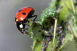 Un insecte auxiliaire: la coccinelle