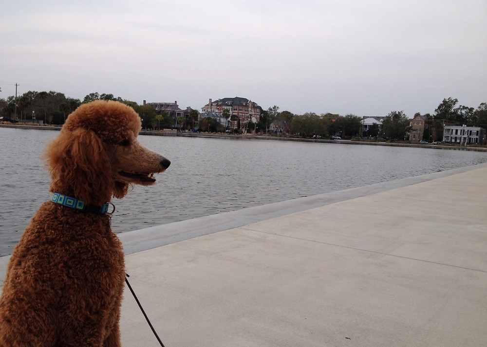Poodle at Colonial Lake in Charleston