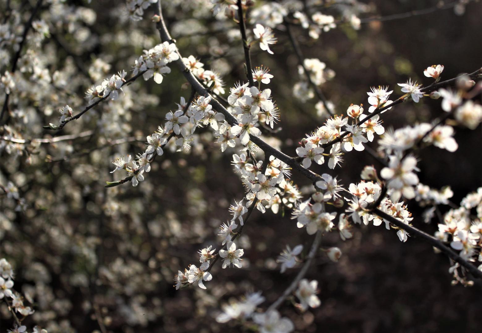 Rami fioriti