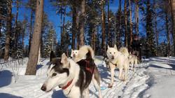 dog sledding3