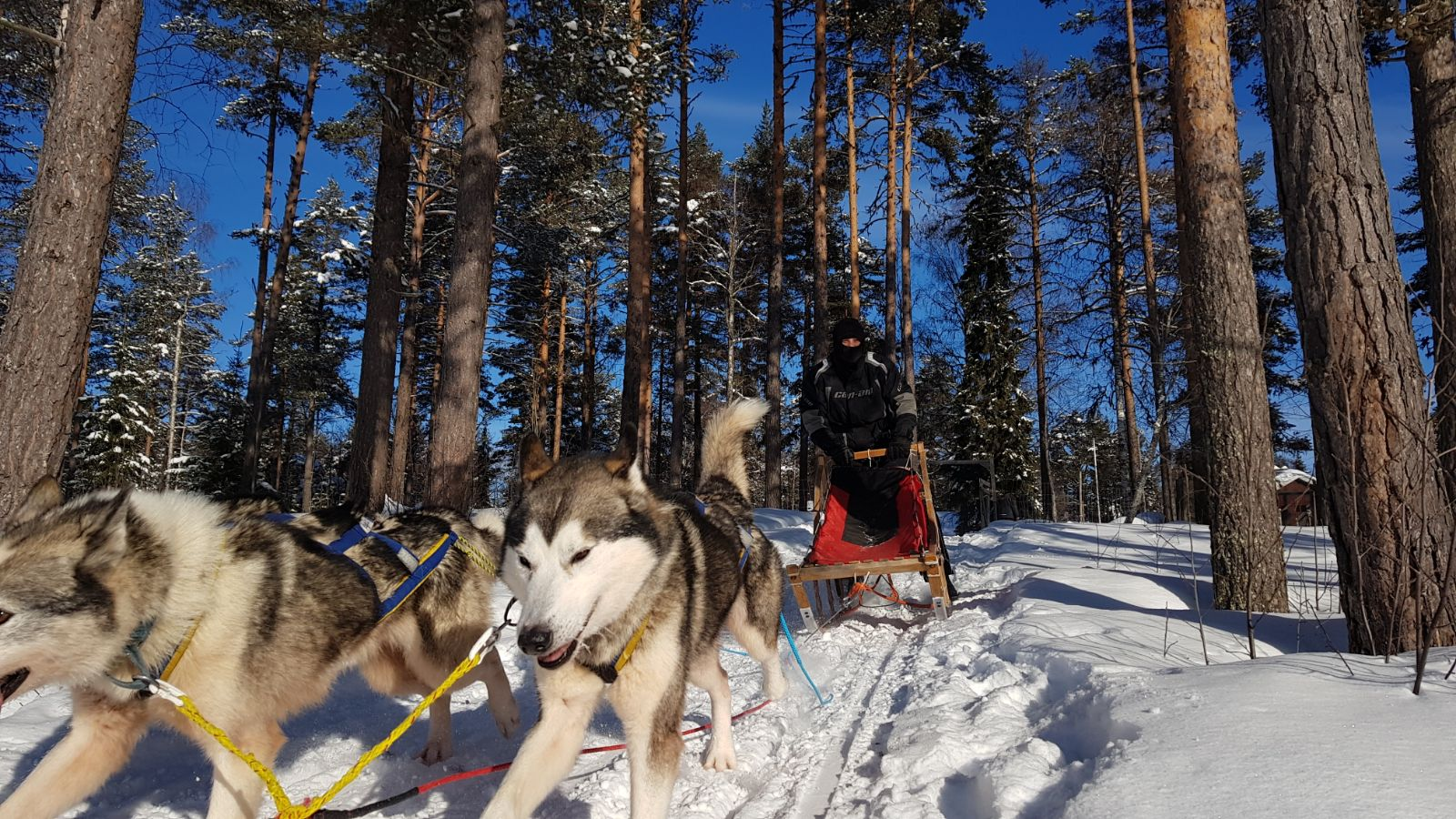 dog sledding12
