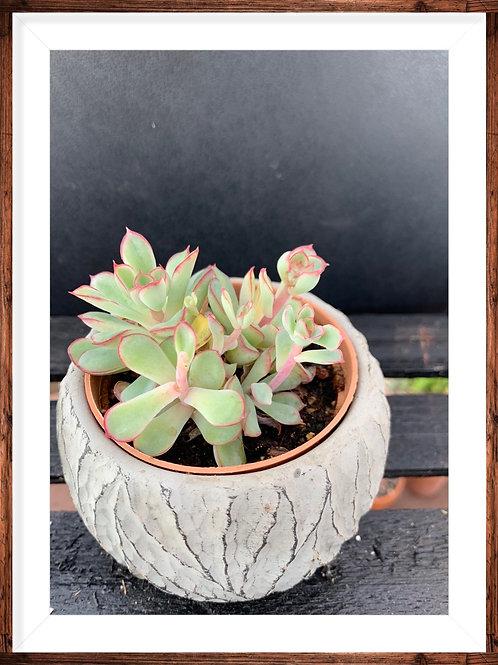 Aeonium Kiwi Haworthii and pot