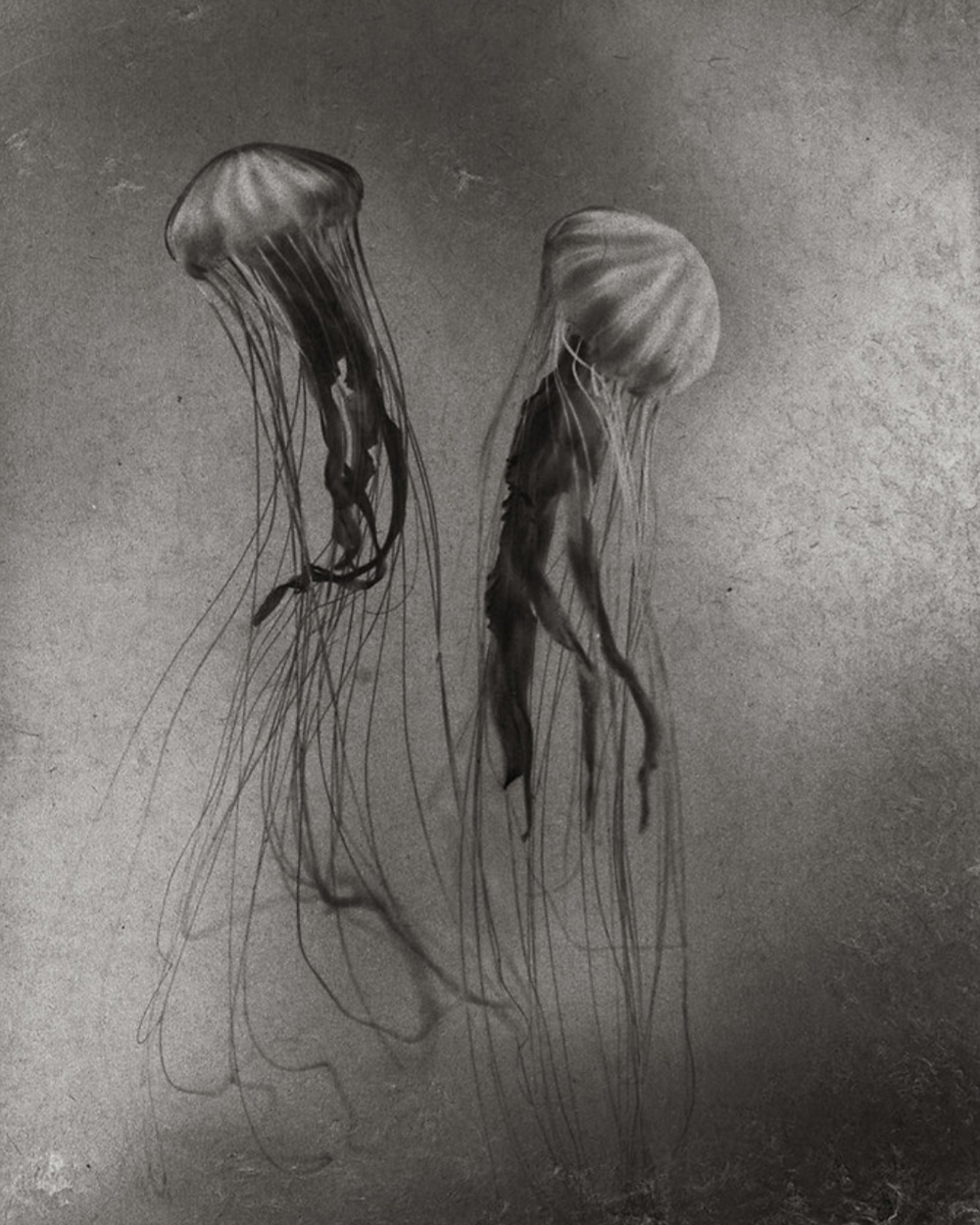 Jellyfish No.2