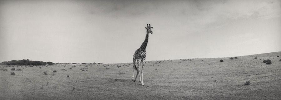 silke-lauffs-giraffe-image