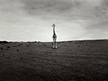 322_giraffe-platin_edited.jpg