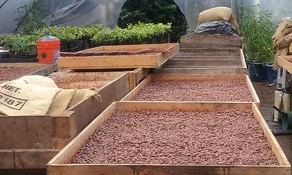 Harvesting_Cacao_Pods.jpg