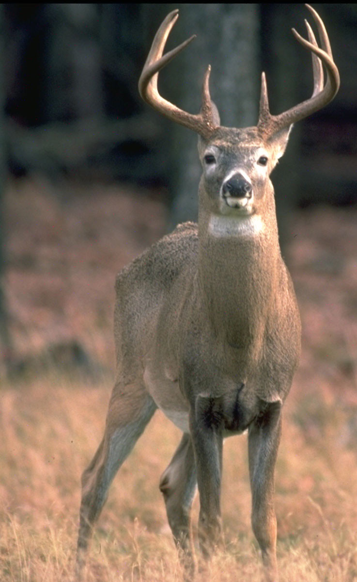 Eastern White-tailed Deer in forest.