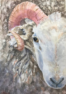 watercolor of sheep, horn, yvonne haus