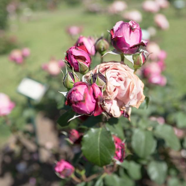 rosa rosa_edited.jpg