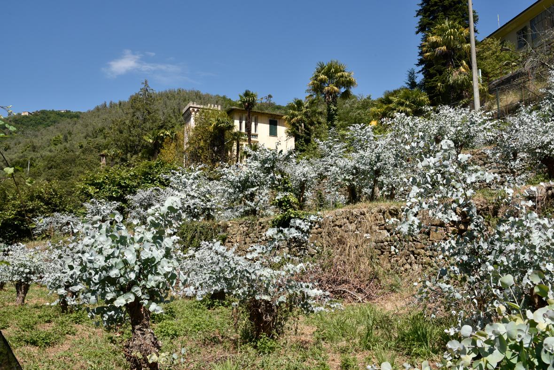 Coltivazione Eucaliptus gunnii