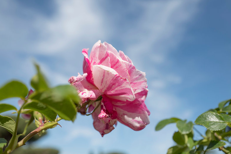 rosa striata.jpg