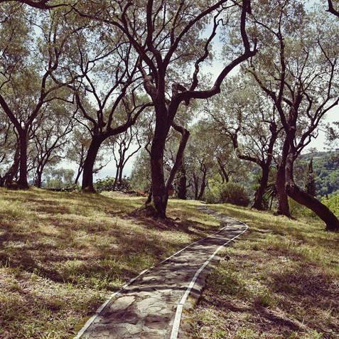 OLIVO - OLIVE TREE