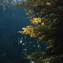 FAGGIO - BEECH TREE