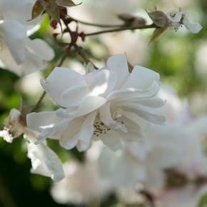 rosa bianca_edited.jpg