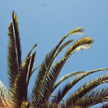 PALMA - PALM TREE