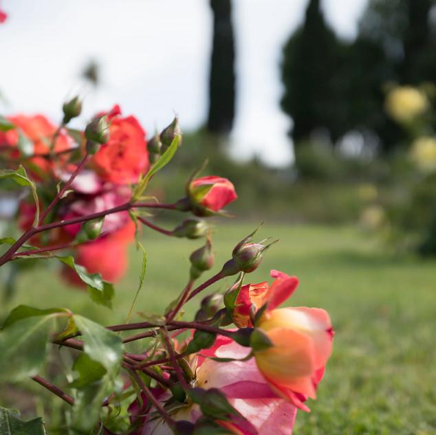 rosa e cipresso_edited.jpg