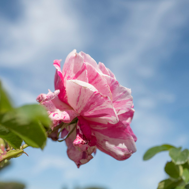rosa striata_edited.jpg