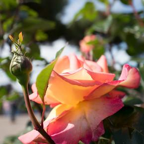 rosa gialla_edited.jpg
