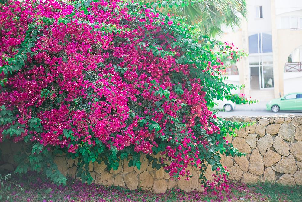 Flowers wall Kyrenia North Cyprus