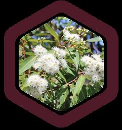 yellow-box-eucalyptus-Mazzra-fresh-farm-