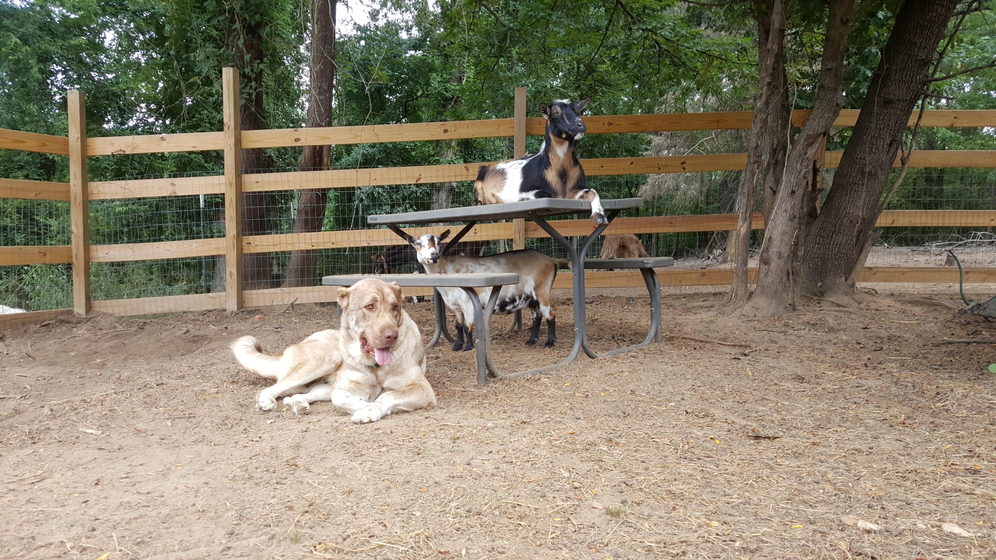 Hava among her Nigerian Dwarf goats