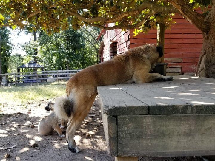 Swinx and pups
