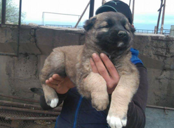 Baby Swinx with breeder in Armenia