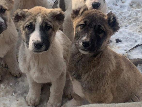 Kura and Sose, puppies in Armenia