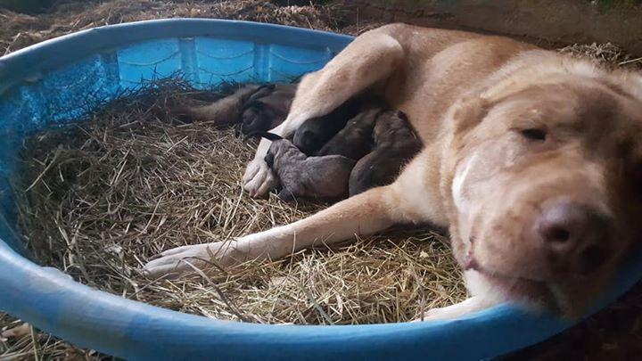 2018 gampr puppy litter in Mississippi