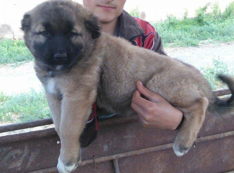 Armenian gampr puppy